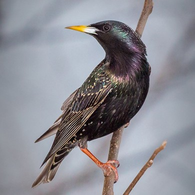 Solitary Starling